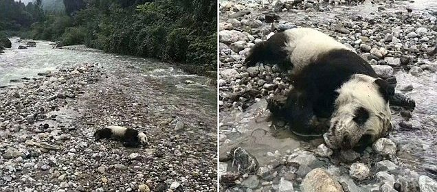 Wild baby panda found dead after drowning in floodwaters in